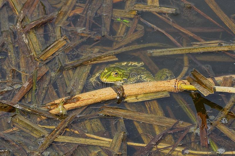 Green frog sits in the water of a pond among brown algae. One big green frog sits in the water of a pond among brown algae stock photos