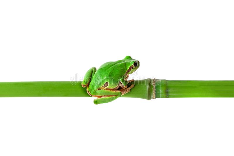 Green frog sitting on bamboo stick. Tree frog on bamboo isolated on white with clipping path. Horizontal position image royalty free stock image