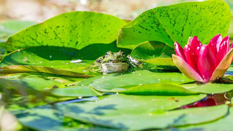 A green frog sitting in a garden pond royalty free stock photo