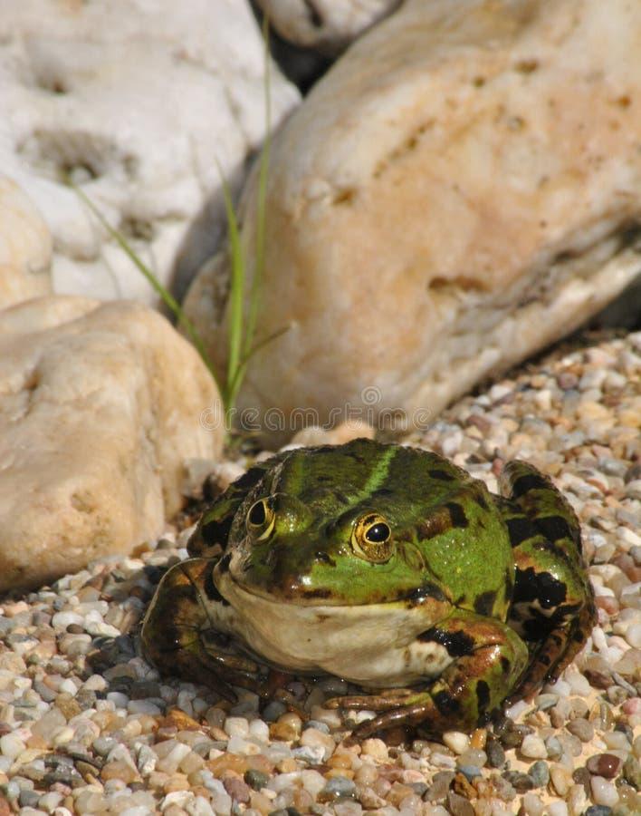 Green frog sitting on gravel royalty free stock photo