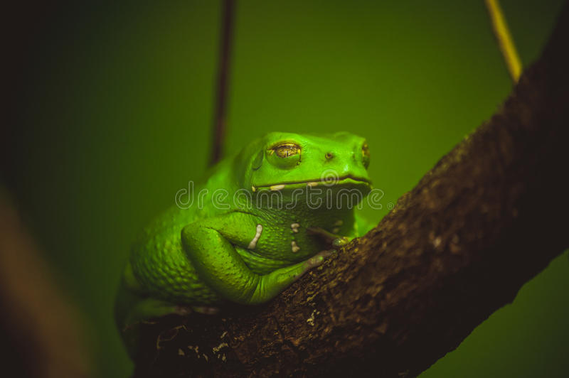 Green frog sleeping on branch. Close up stock image