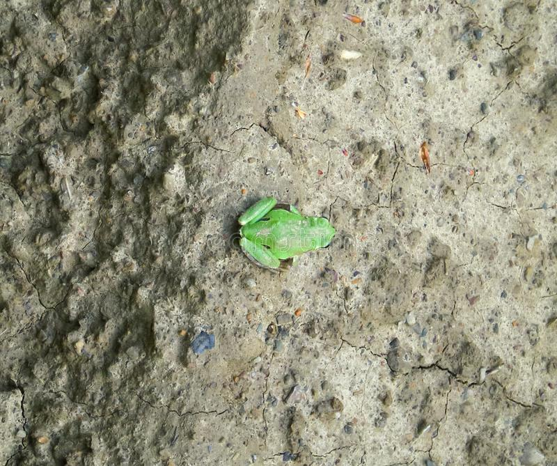 A Green frog. Green frog. Small amphibious on the soil royalty free stock images