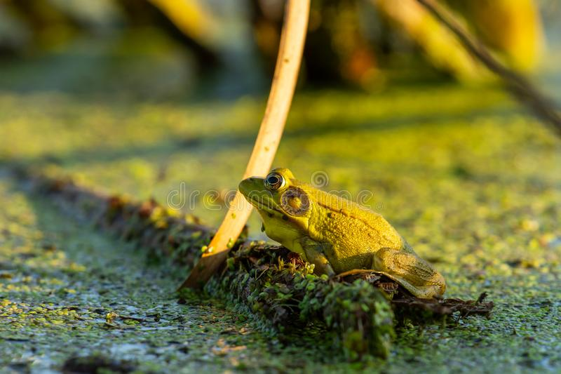 Green frog in swamp royalty free stock photo