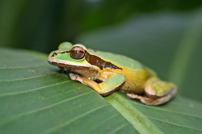 Green Frog warming in the sun stock image