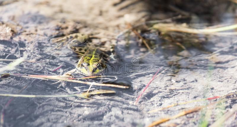 Green frog in the water in nature royalty free stock photo