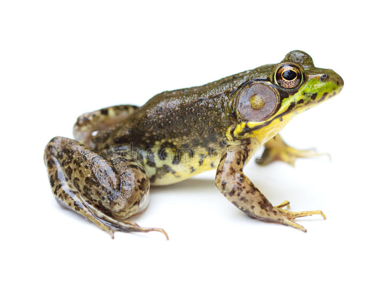 Green Frog on a White Background stock photo
