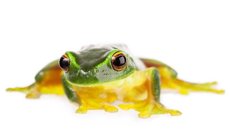 Green frog on white. A macro shot of a beautiful Australian Orange thighed Tree frog, Litoria xanthomera. on white royalty free stock image