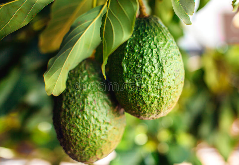 Green fruit of avocado on the tree royalty free stock images