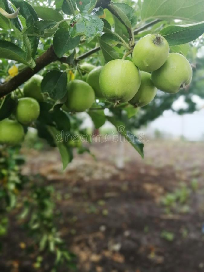 Several young green apples on a branch. Green fruit on a tree against the background of the earth royalty free stock images