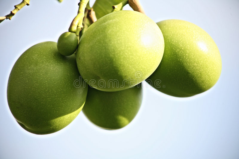 Green Fruits. We can find green fruits at some tropical places. In my country, people consume it for many purposes, such as for medicinal reasons royalty free stock photography