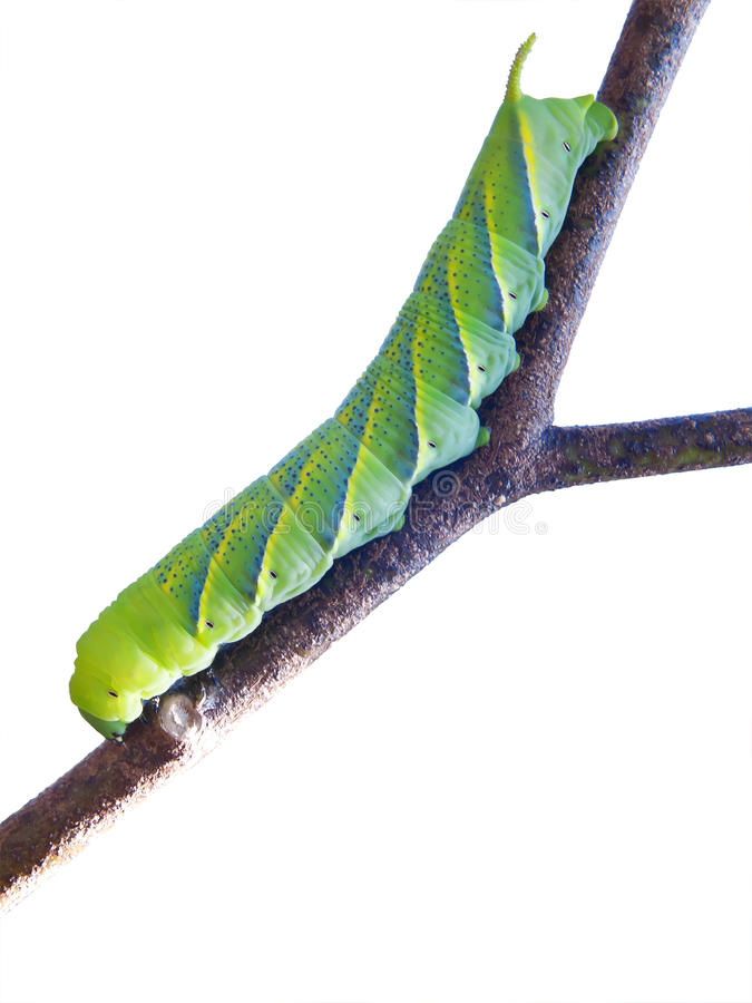 Green fruitworm royalty free stock image