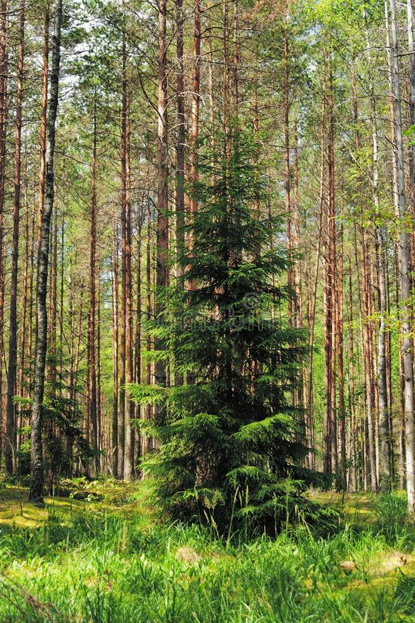 Download Green Fur-tree In Pine Wood Stock Image - Image: 17492007