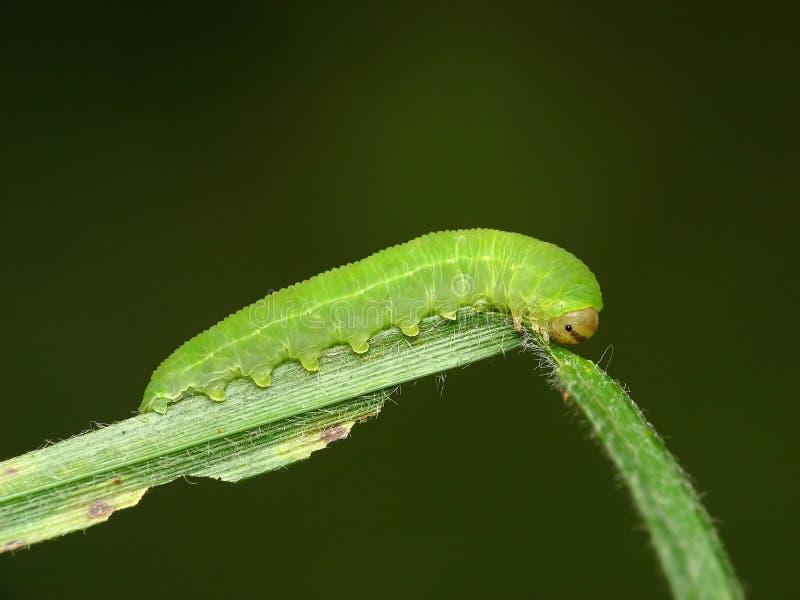 green gąsienicami fotografia stock