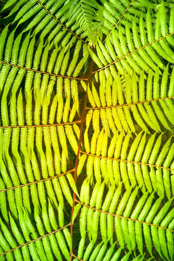 Green garden background of Fishbone Fern or Sword Fern. stock image