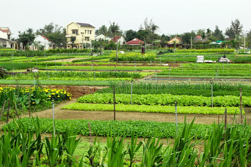 Green garden beds with vegetables, fruits and flowers on a farm with houses on a background. Hoi An, Vietnam stock photo