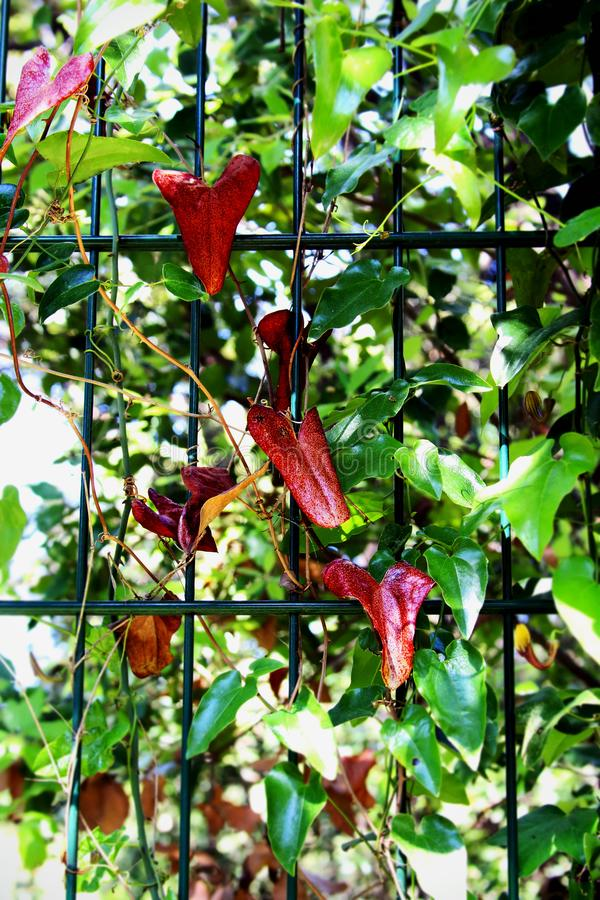 Green garden vine with red heart shaped leaves on a wire fence on sunny day royalty free stock image