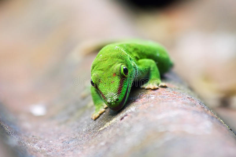 Green gecko. On the roof (Zurich zoo royalty free stock images