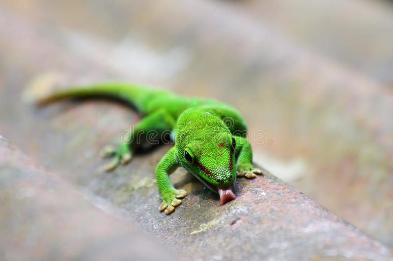 Green gecko. On the roof (Zurich zoo stock photo