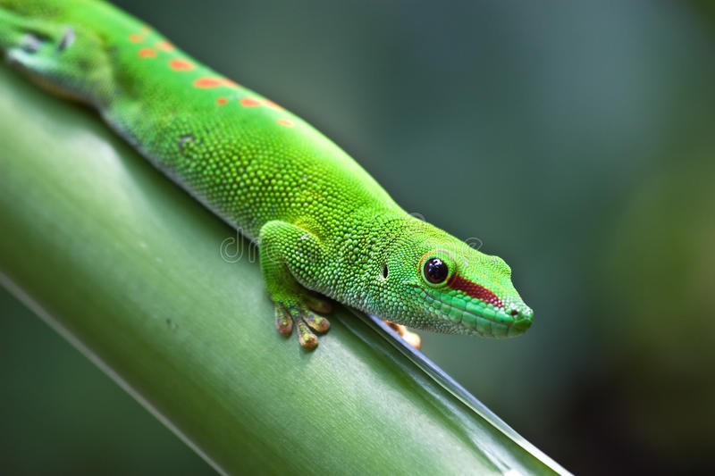 Green gecko. On the leaf (Masoala garden, Zurich zoo royalty free stock photos