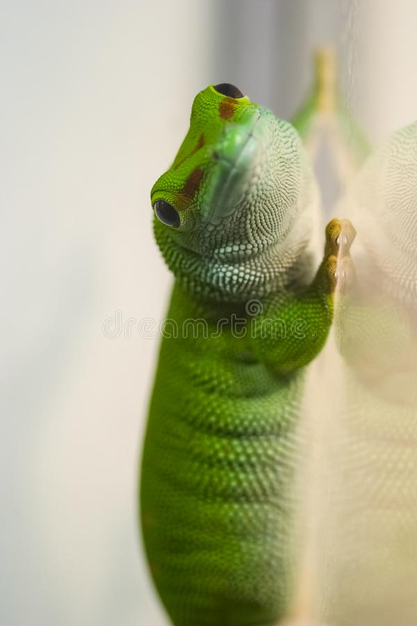 Green gecko on the glass. Gecko lizard stock photos