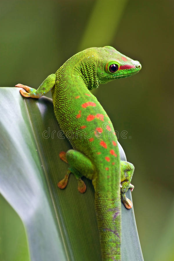 Download Green gecko stock image. Image of closeup, jungle, nature - 34368715