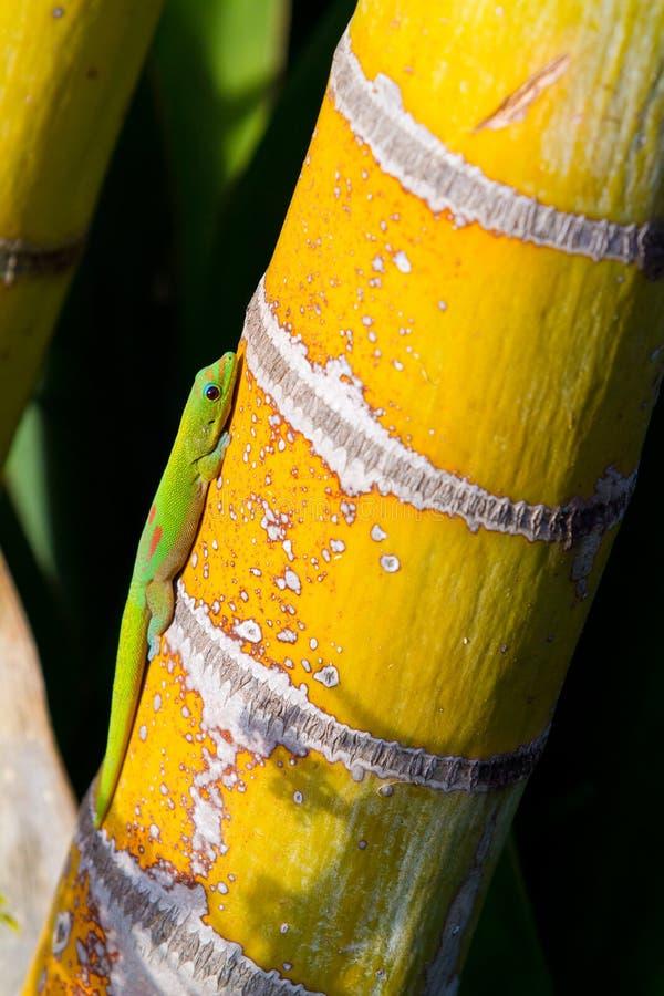 Green Gecko Lizard stock images