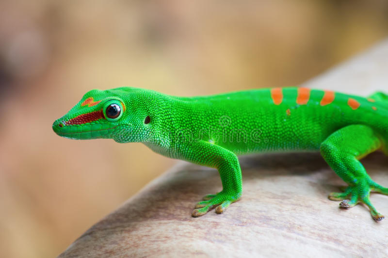 Green gecko. On the palm leam stock photo
