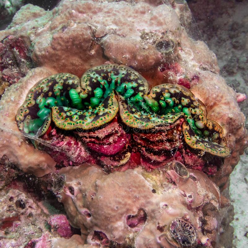 Free Green Giant Clam Close-up Indian Ocean Stock Image - 164571071