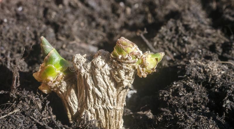 Green ginger root sprouts planted in soil stock photos