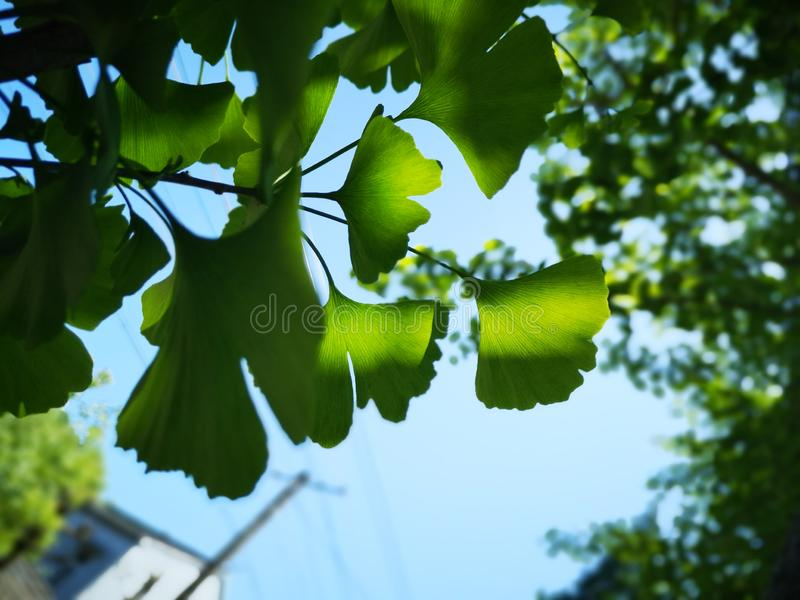 Green ginkgo leaves making a cool summer day royalty free stock images