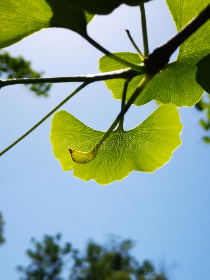 Green ginkgo leaves making a cool summer day royalty free stock image