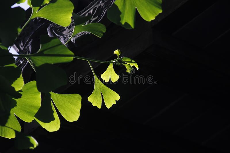 Green ginkgo leaves making a cool summer day. The green ginkgo leaves making a cool feeling in a sunny summer day stock image