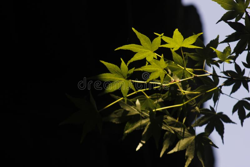 Green ginkgo leaves making a cool summer day. The green ginkgo leaves making a cool feeling in a sunny summer day stock images