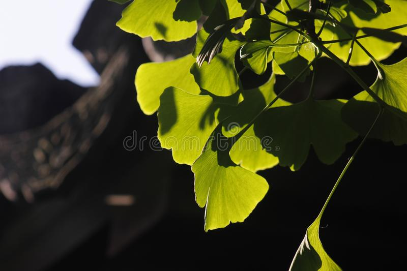 Green ginkgo leaves making a cool summer day. The green ginkgo leaves making a cool feeling in a sunny summer day royalty free stock photos