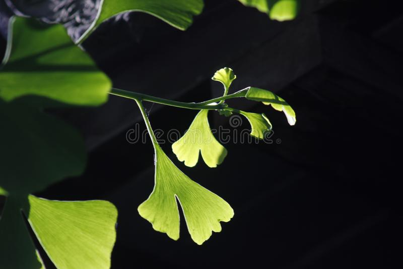 Green ginkgo leaves making a cool summer day. The green ginkgo leaves making a cool feeling in a sunny summer day royalty free stock image