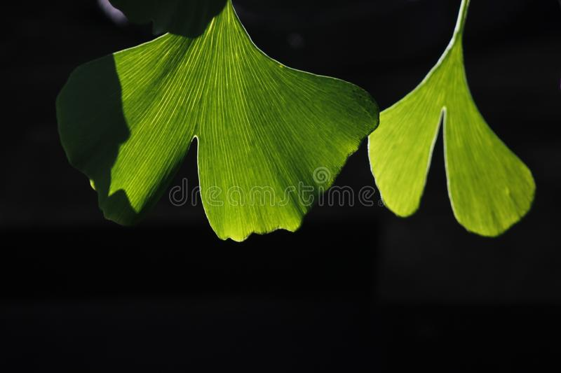 Green ginkgo leaves making a cool summer day. The green ginkgo leaves making a cool feeling in a sunny summer day royalty free stock photo