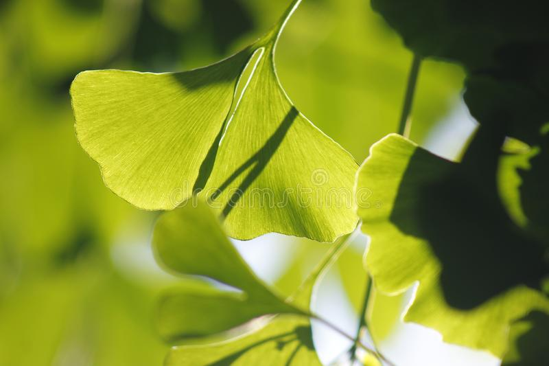 Green ginkgo leaves making a cool summer day. The green ginkgo leaves making a cool feeling in a sunny summer day royalty free stock images