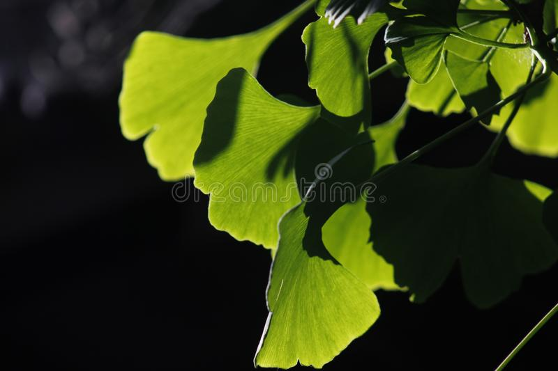Green ginkgo leaves making a cool summer day. The green ginkgo leaves making a cool feeling in a sunny summer day stock photo