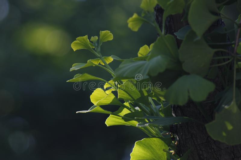 Green ginkgo leaves making a cool summer day. The green ginkgo leaves making a cool feeling in a sunny summer day stock photography