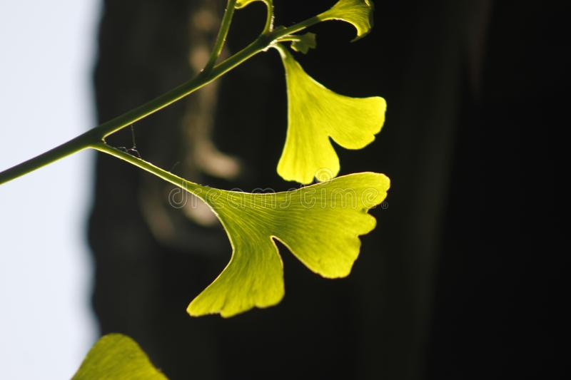 Green ginkgo leaves making a cool summer day. The green ginkgo leaves making a cool feeling in a sunny summer day royalty free stock photography