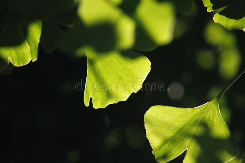 Green ginkgo leaves making a cool summer day. The green ginkgo leaves making a cool feeling in a sunny summer day stock photos