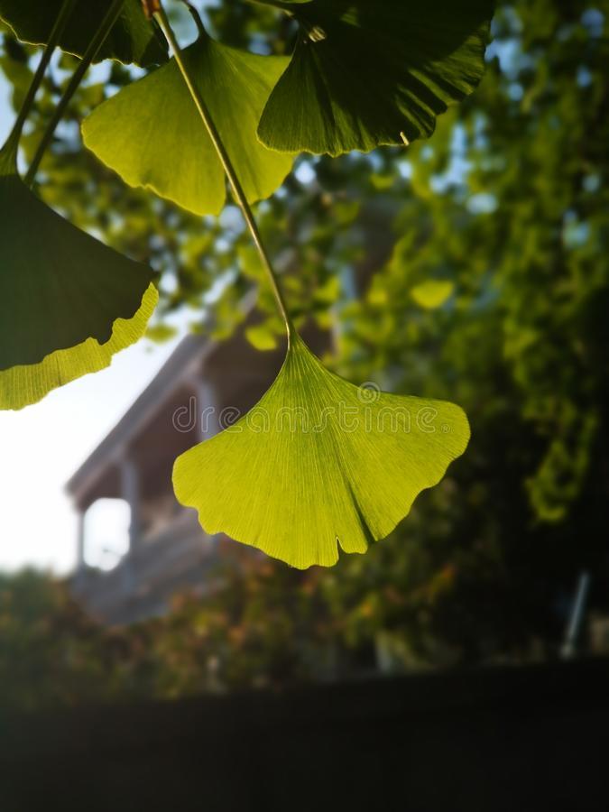 Green ginkgo leaves making a cool summer day royalty free stock photo