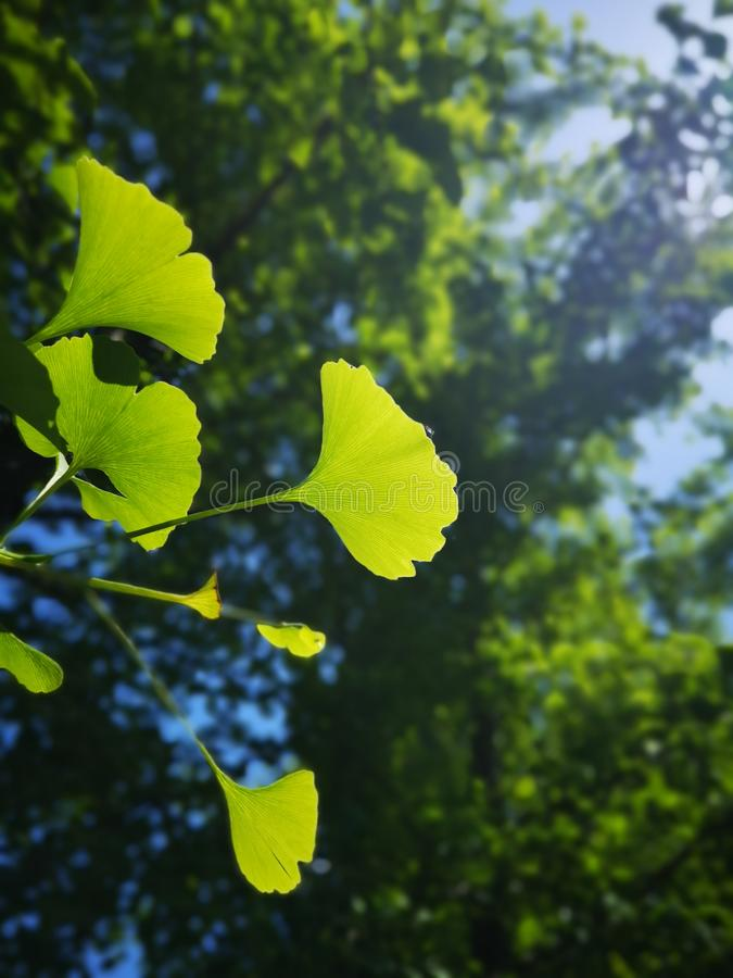 Green ginkgo leaves making a cool summer day royalty free stock photos