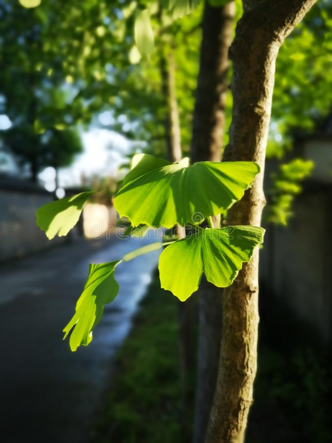 Green ginkgo leaves making a cool summer day stock images