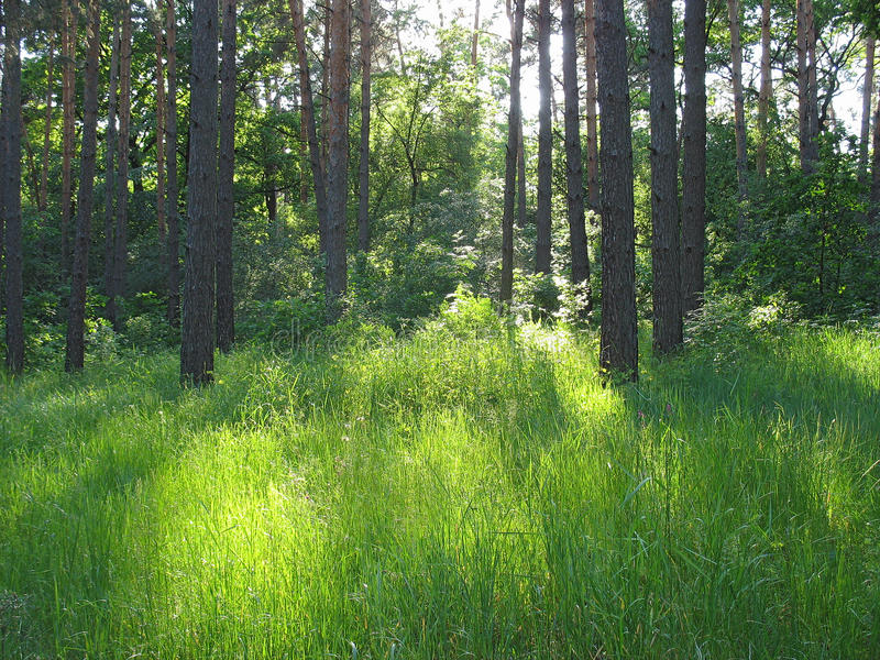 Green glade with bright sunspots in wild forest royalty free stock photo