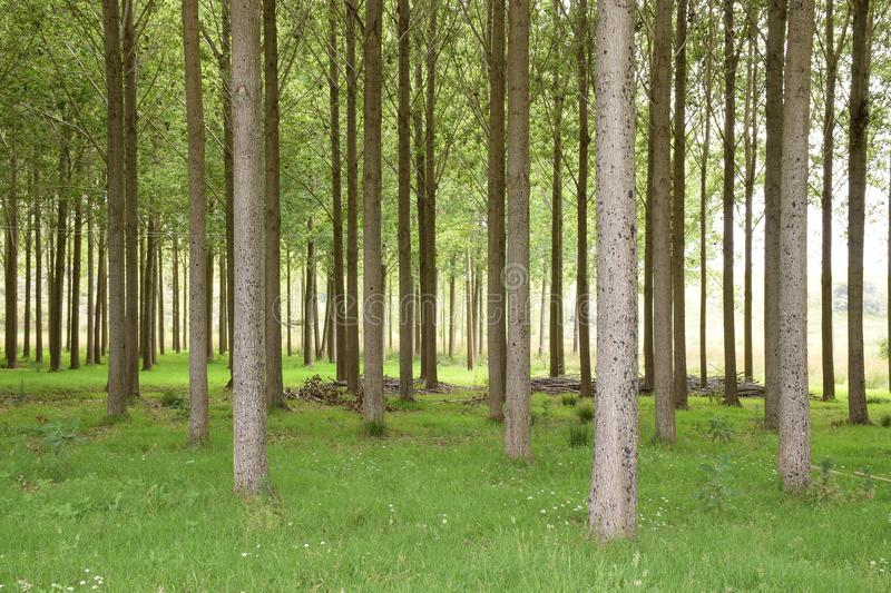 A Green Glade filled with Tall Trees. A beautiful green glade filled with vertical trees, trunks and grass, a perfect zen spot for calm meditation, relaxing or stock photography
