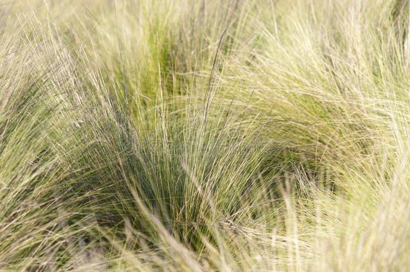 Southern California bunch grasses used in garden landscaping. Green and gold field of Southern California bunch grasses in mediterranean arid desert like royalty free stock photo