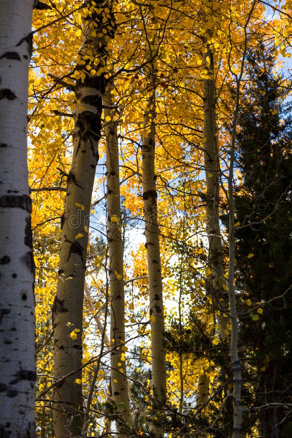Green and gold leaves cover aspen trees. In a forest royalty free stock images