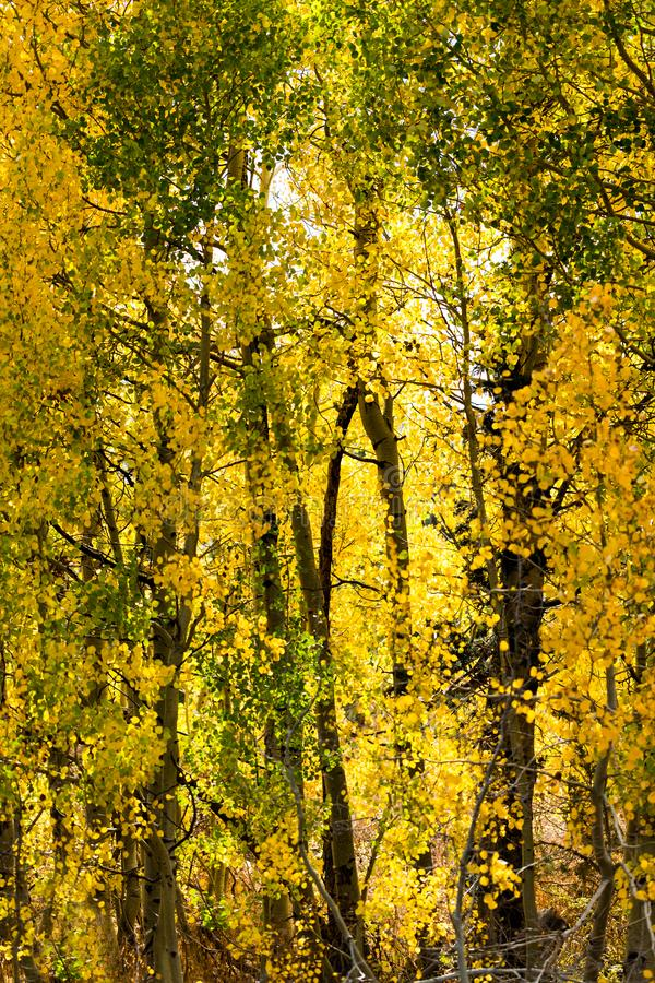 Green and gold leaves cover aspen trees. In a forest royalty free stock photos