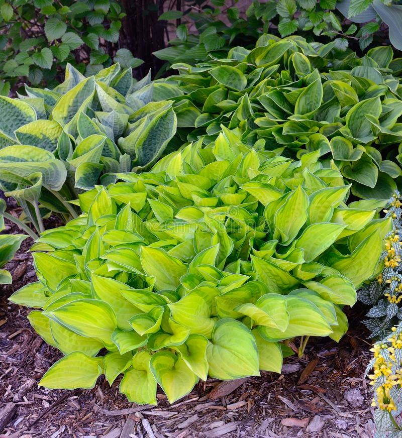 Green and Gold Variegated Hostas royalty free stock image